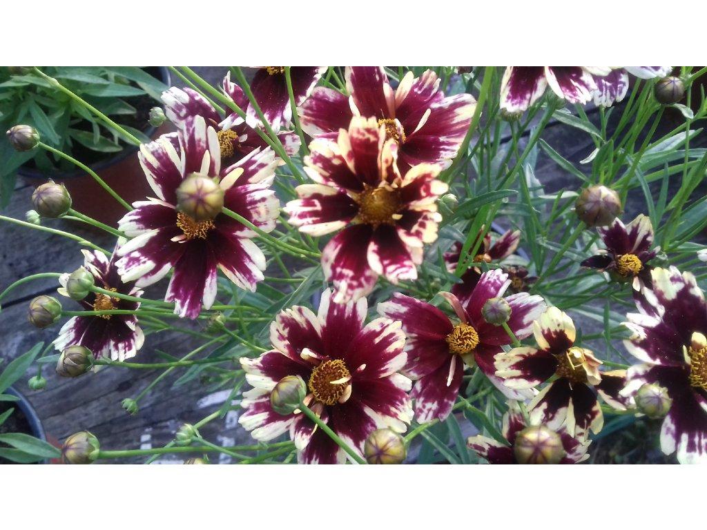 Coreopsis Snowberry – Krásnoočko