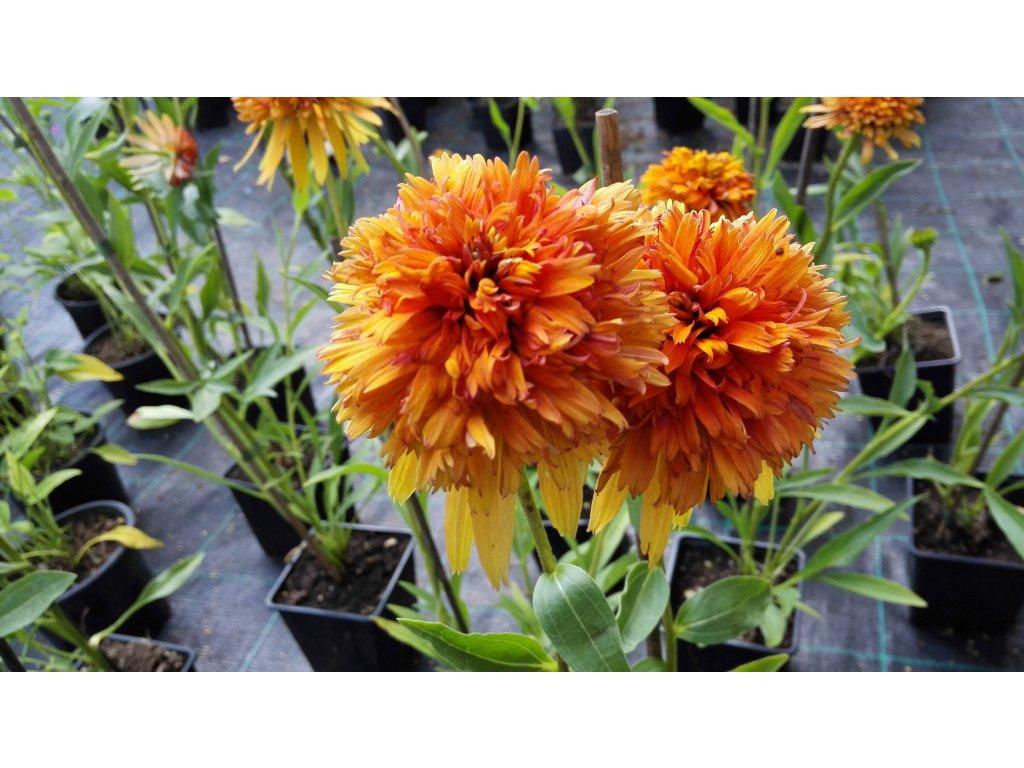 Echinacea Marmalade – Třapatka