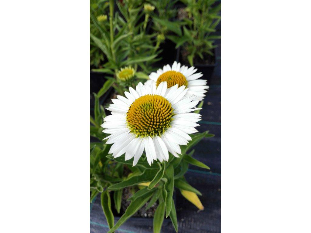 Echinacea Meditation White – Třapatka