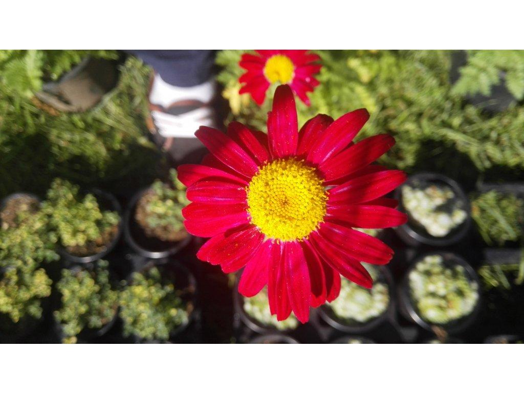 Tanacetum Robinson´s Red – Červené Kopretiny