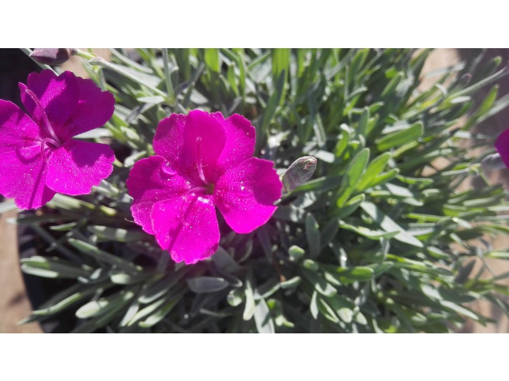 Dianthus Deltoides Maiden Pink – Hvozdík