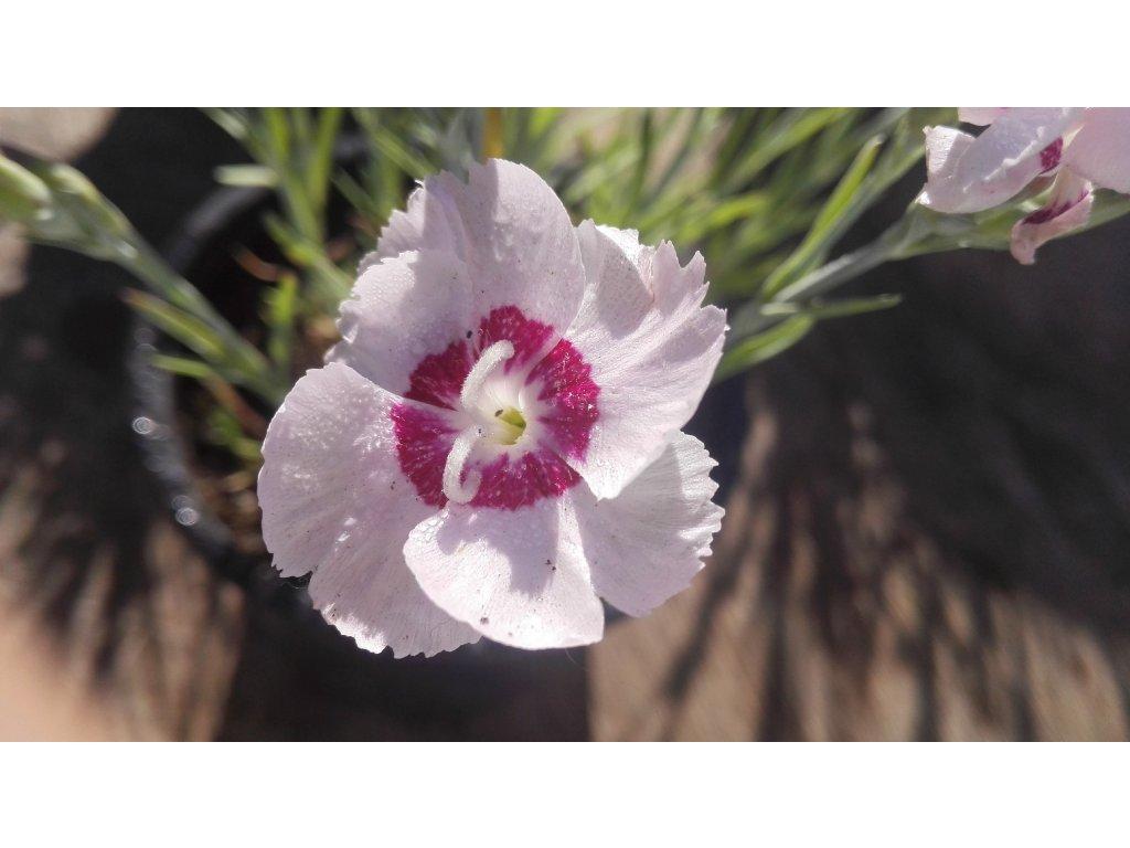 Dianthus Plumarius Dixie White Red Bicolor – Hvozdík