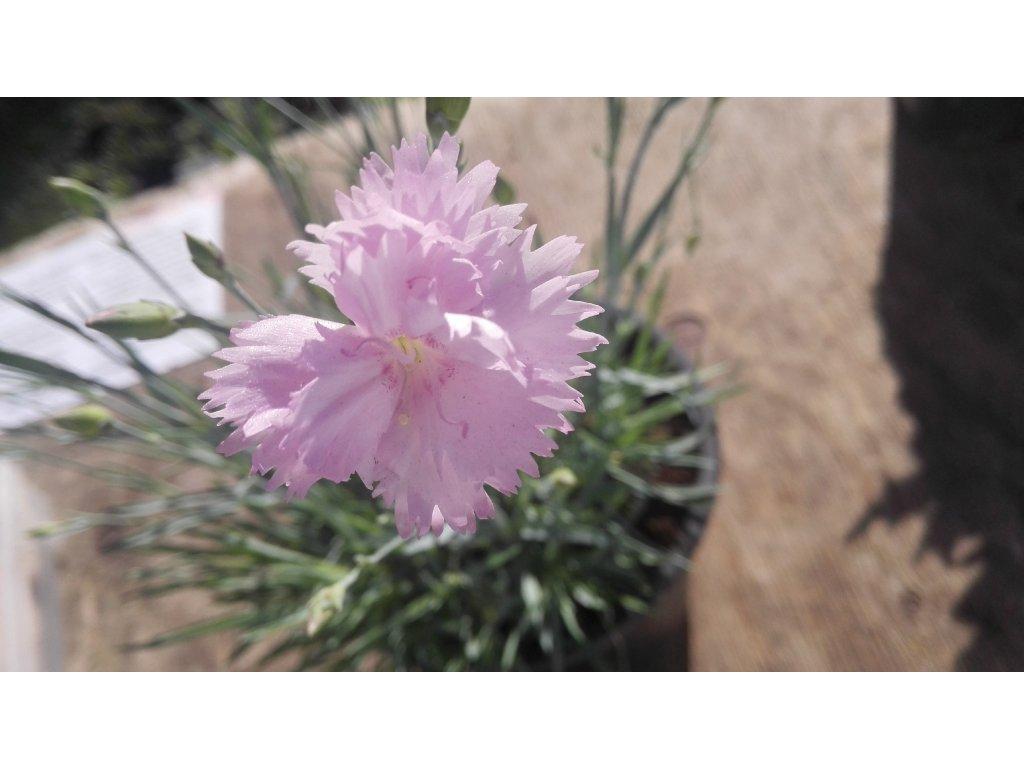 Dianthus Pulmarius Spring Beauty – Hvozdík