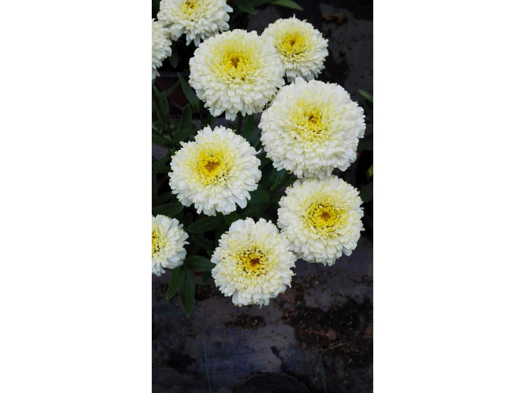 Leucanthemum Real Galaxy – Kopretina