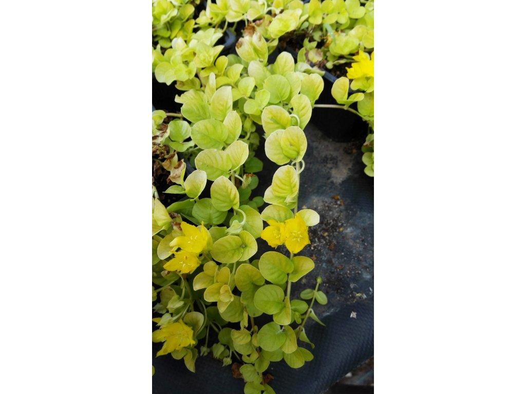 Lysimachia Nummularia Aurea – Vrbina
