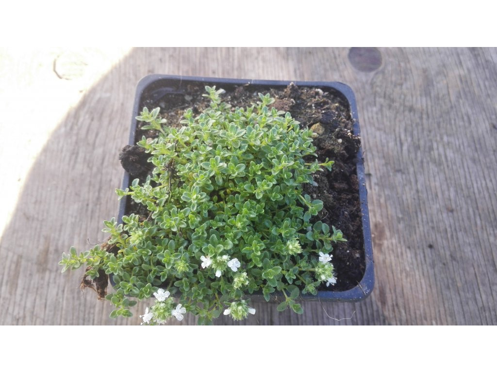 Thymus serpyllum Alba – Mateřídouška
