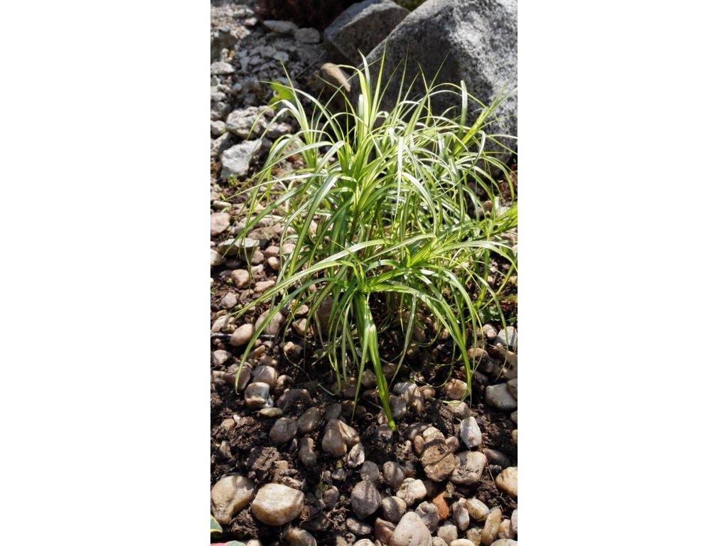 Carex Muskingumensis – Ostřice