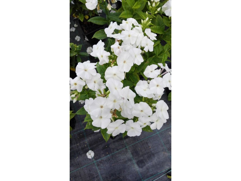 Phlox Paniculata Adessa White – Plaménka