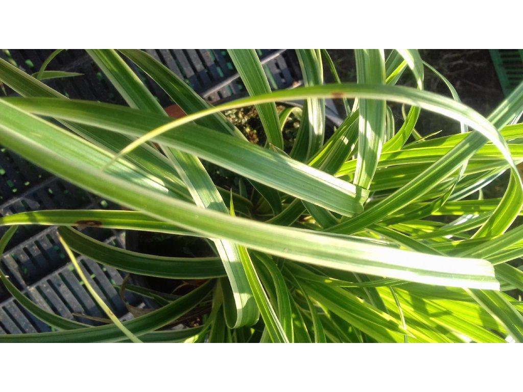 Carex Morrowii Ice Dance – Ostřice