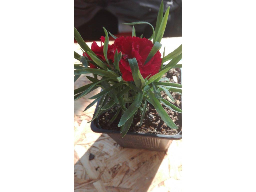 Dianthus Carmen – Karafiát