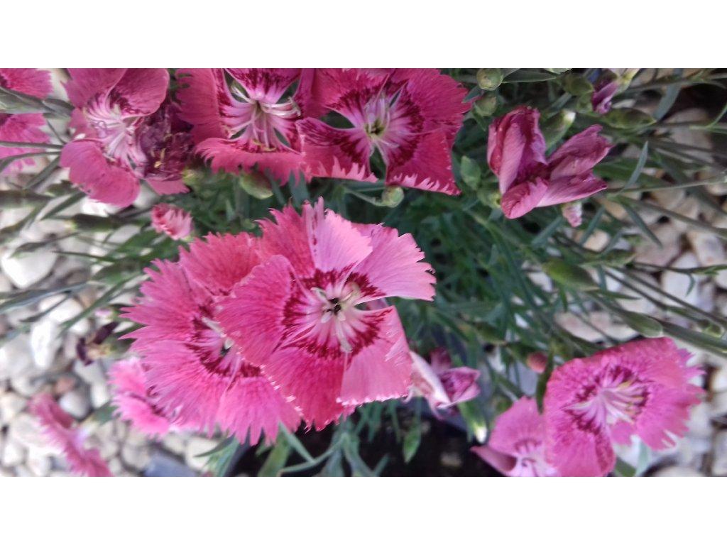 Dianthus Grandiflorus – Karafiát