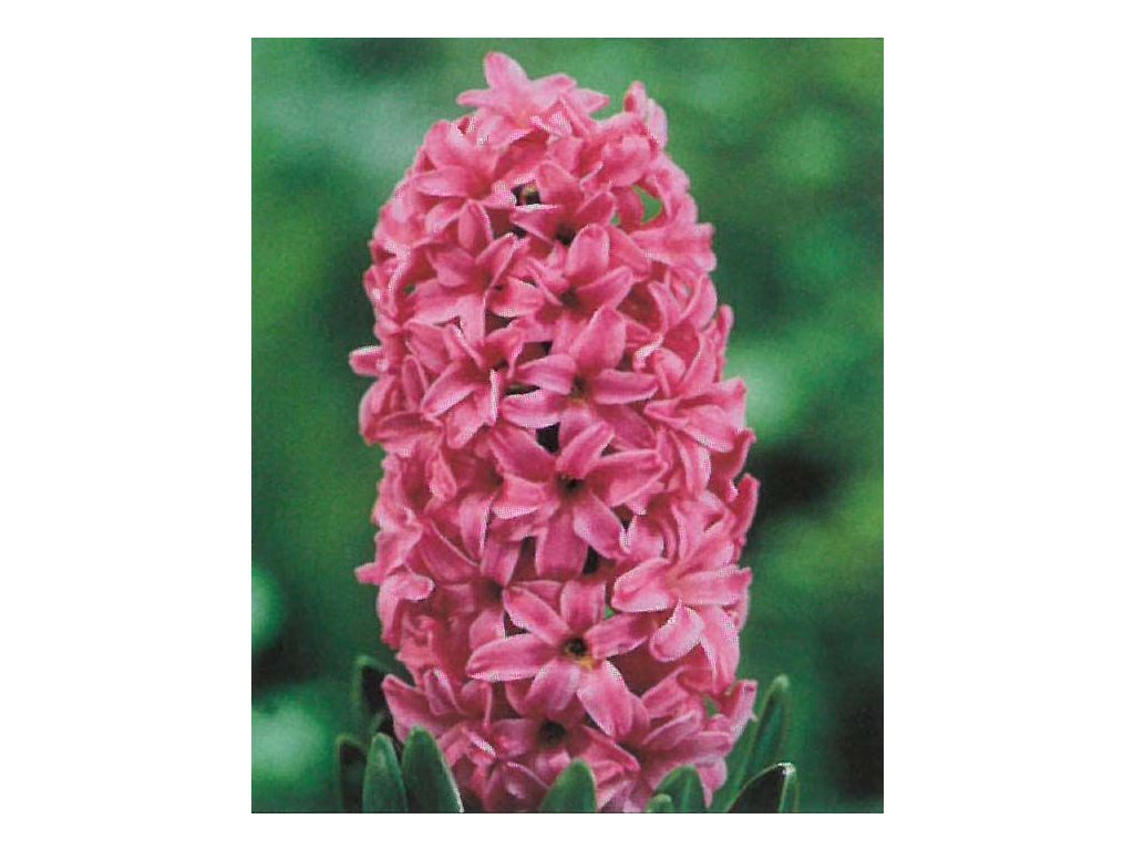 Hyacint Pink Pearl 3 ks, 15/16