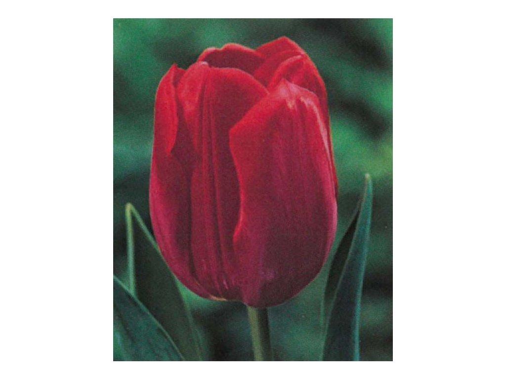 Tulipán Triumph Ile de France 10 ks, 11/12