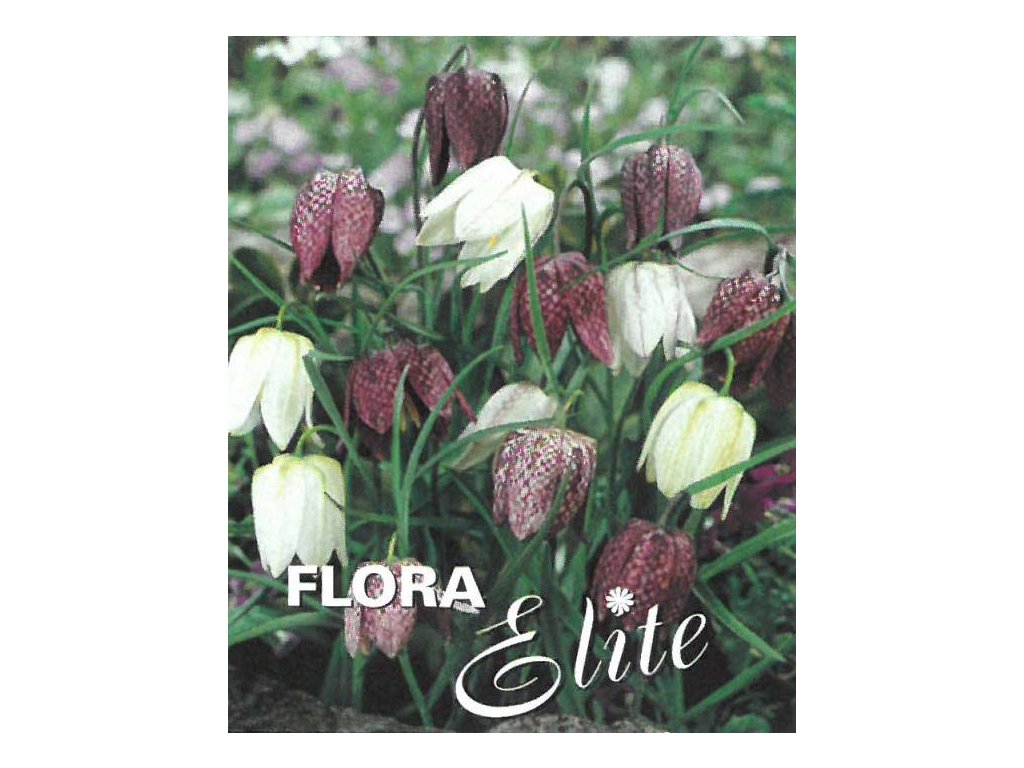 Fritillaria meleagris Mixed 10 ks, 6/7