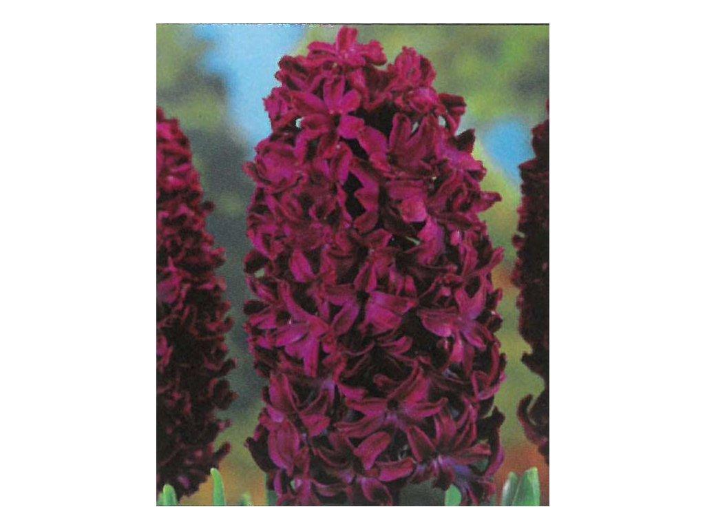 Hyacint Woodstock 3 ks, 15/16