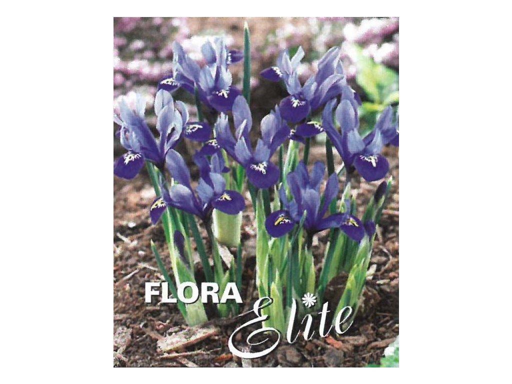 Iris reticulata Harmony 15 ks, 5/6