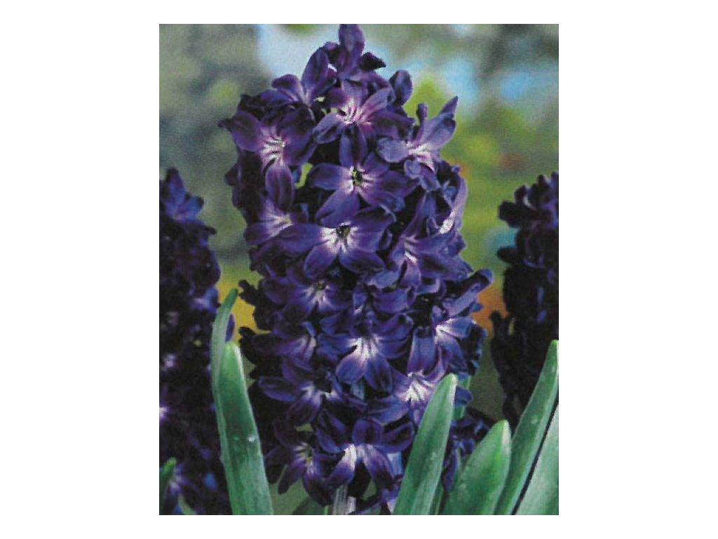 Hyacint Blue Magic 3 ks, 15/16
