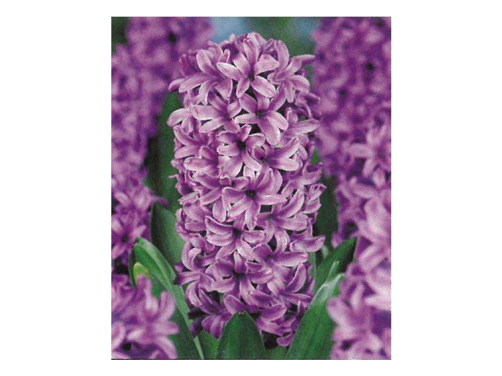 Hyacint Miss Saigon 3 ks, 15/16