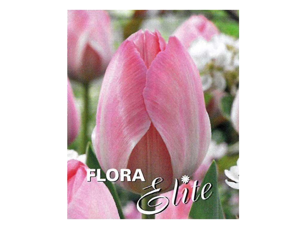 Tulipán Darwin Hybr. Mystic van Eijk 10 ks, 11/12