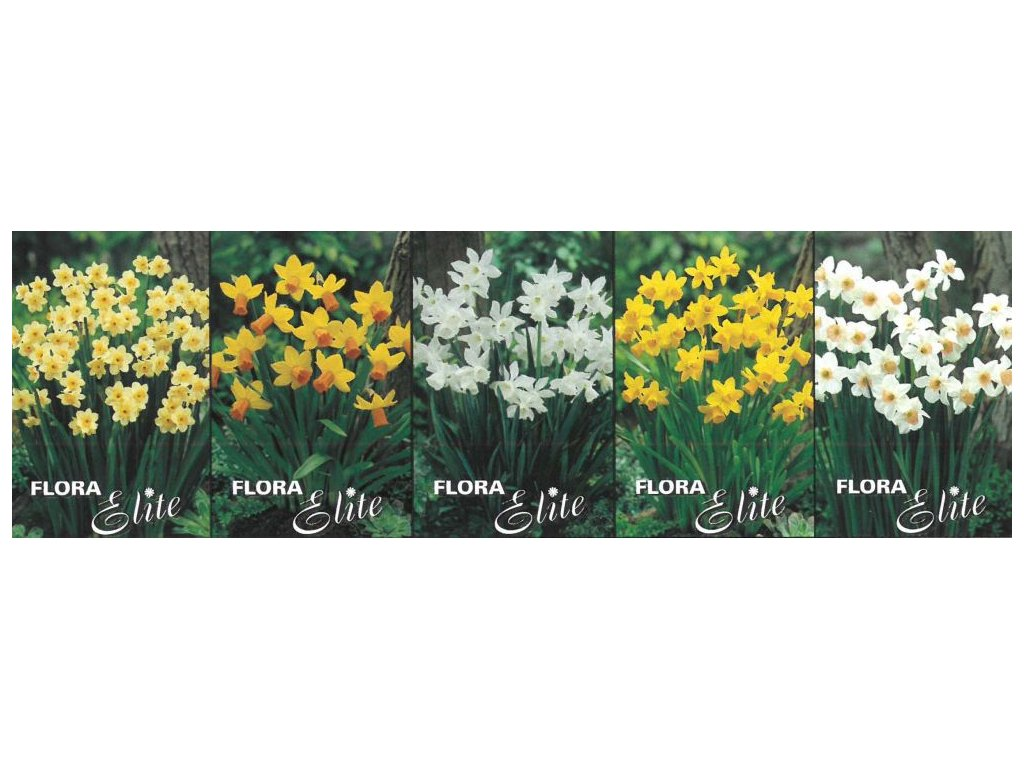 Show box S151 Narcis Miniature 5 x 50 ks
