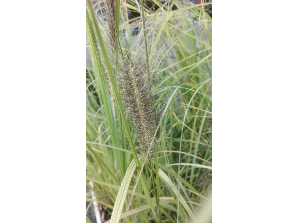 Pennisetum Alopecuroides – Vousatec