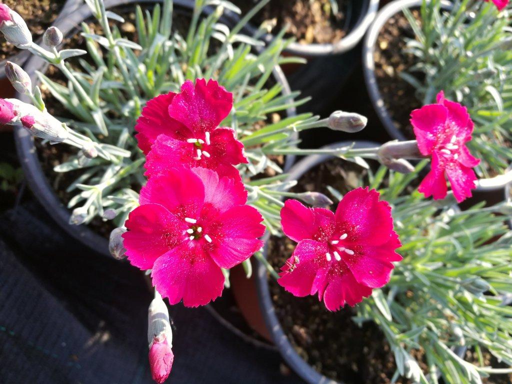 Dianthus Rubin – Karafiát