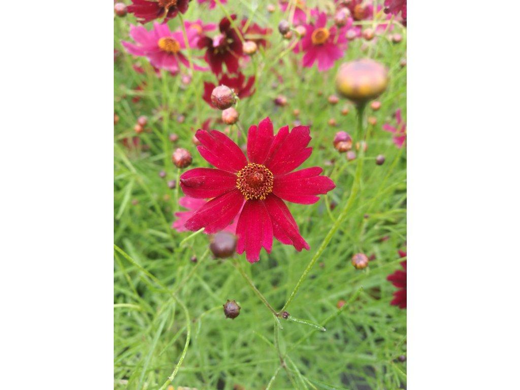 Coreopsis Limerock Ruby – Krásnoočko