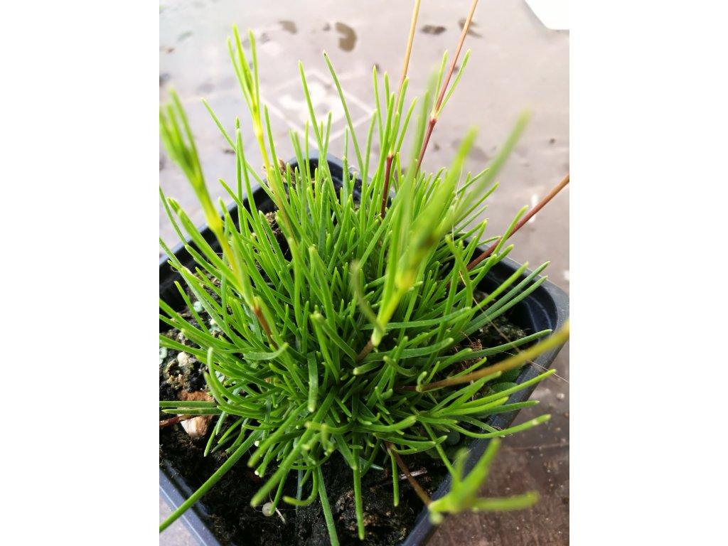 Gypsophila Bungeana – Šater (Nevěstin závoj)