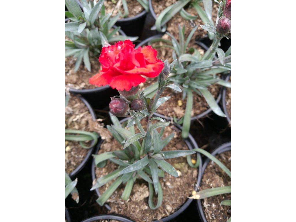 Dianthus Carmen Red – Hvozdík