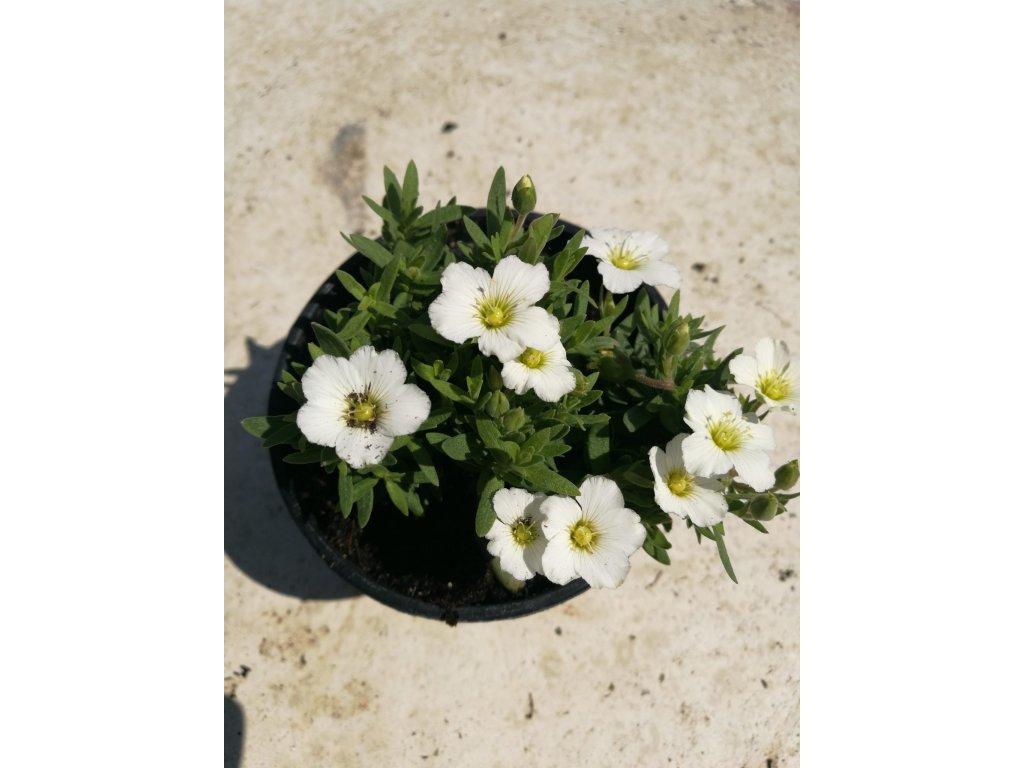 Arenarie Montana Summer White Compact – Písečnice