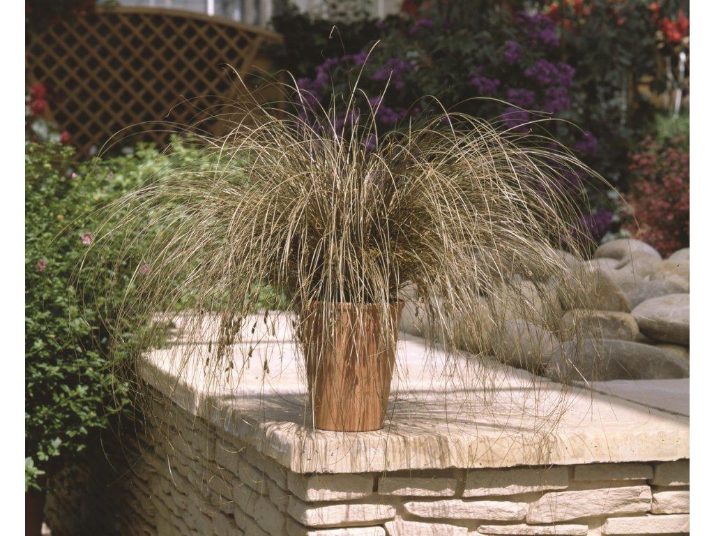 Carex comans Bronco