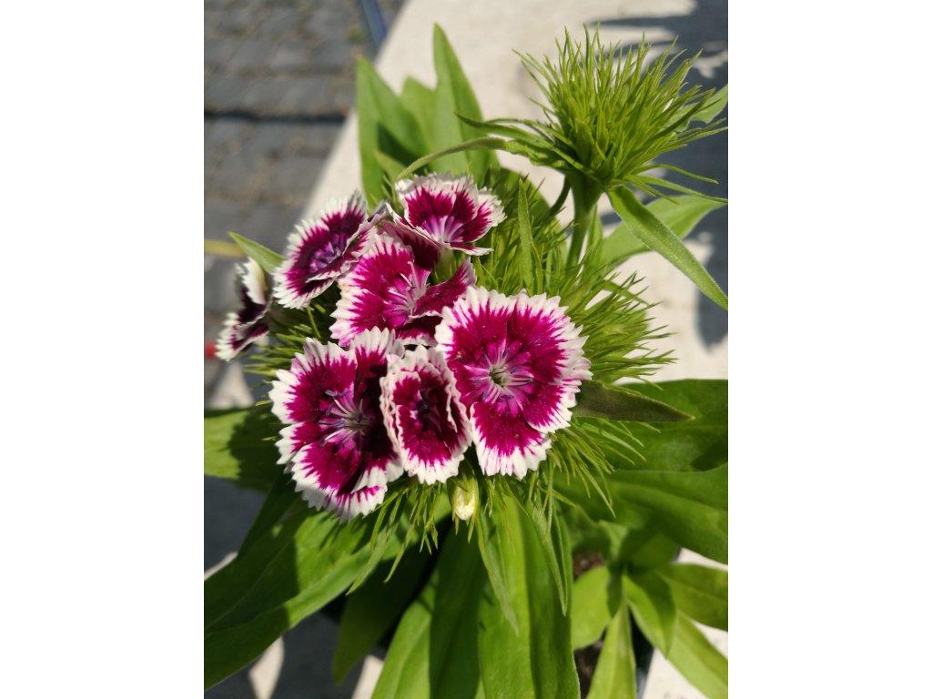 Dianthus barbatus Barbariny Purple Picotee – Hvozdík