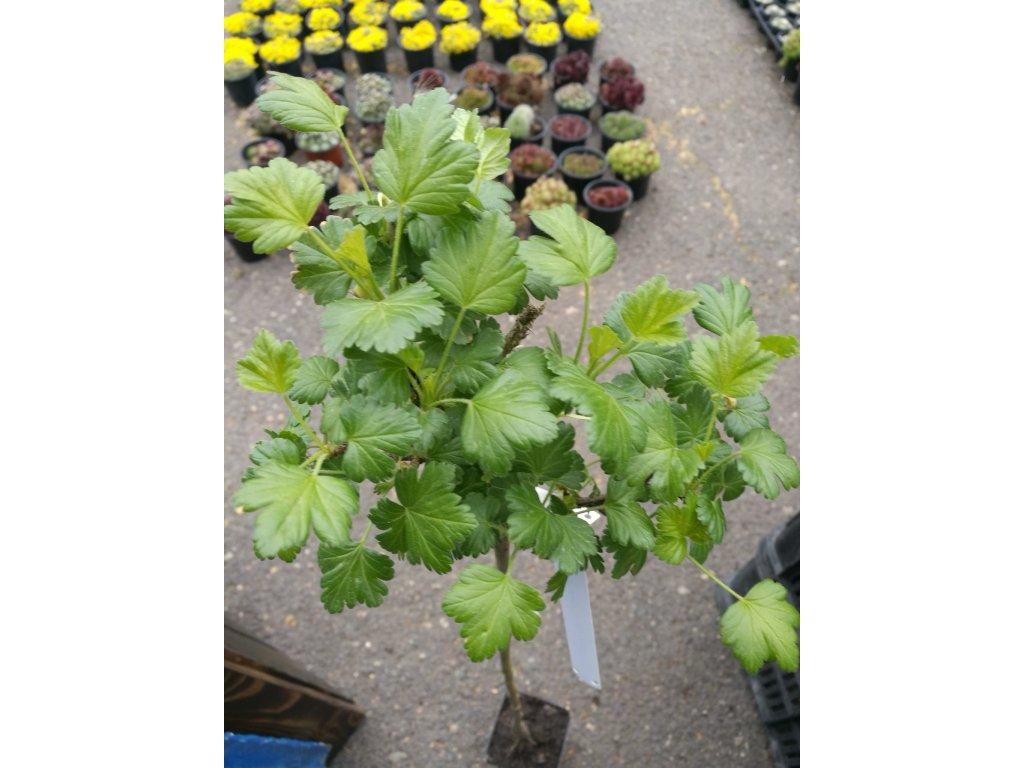 """Ribes uva-crispa Invicta – Angrešt bílý """"Stromkový"""""""