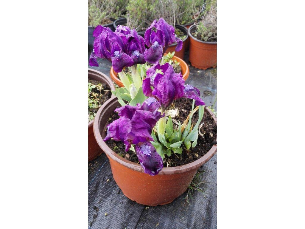 Iris skalkový – Kosatec