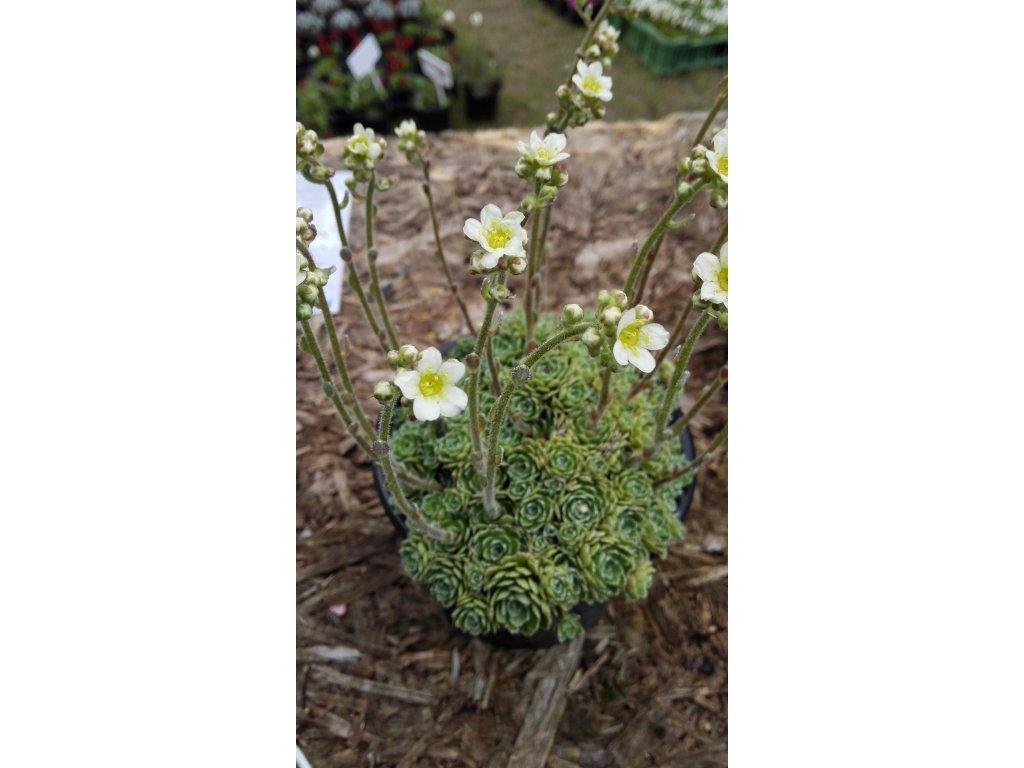 Saxifraga paniculata baldensis – Lomikámen