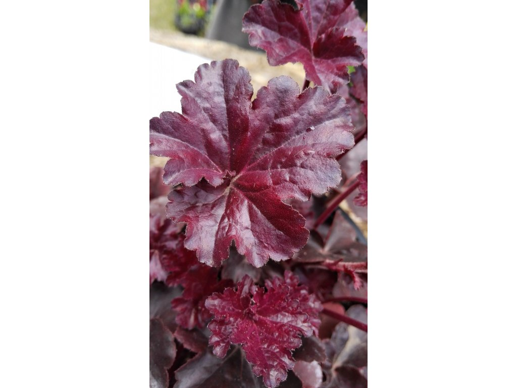 Heuchera hybrida Black Beauty – Dlužicha
