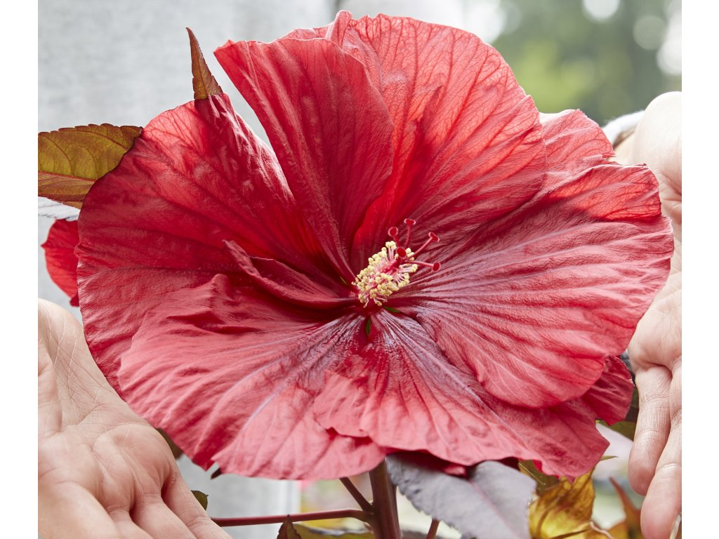 Hibiscus moscheutos Carousel Geant Red