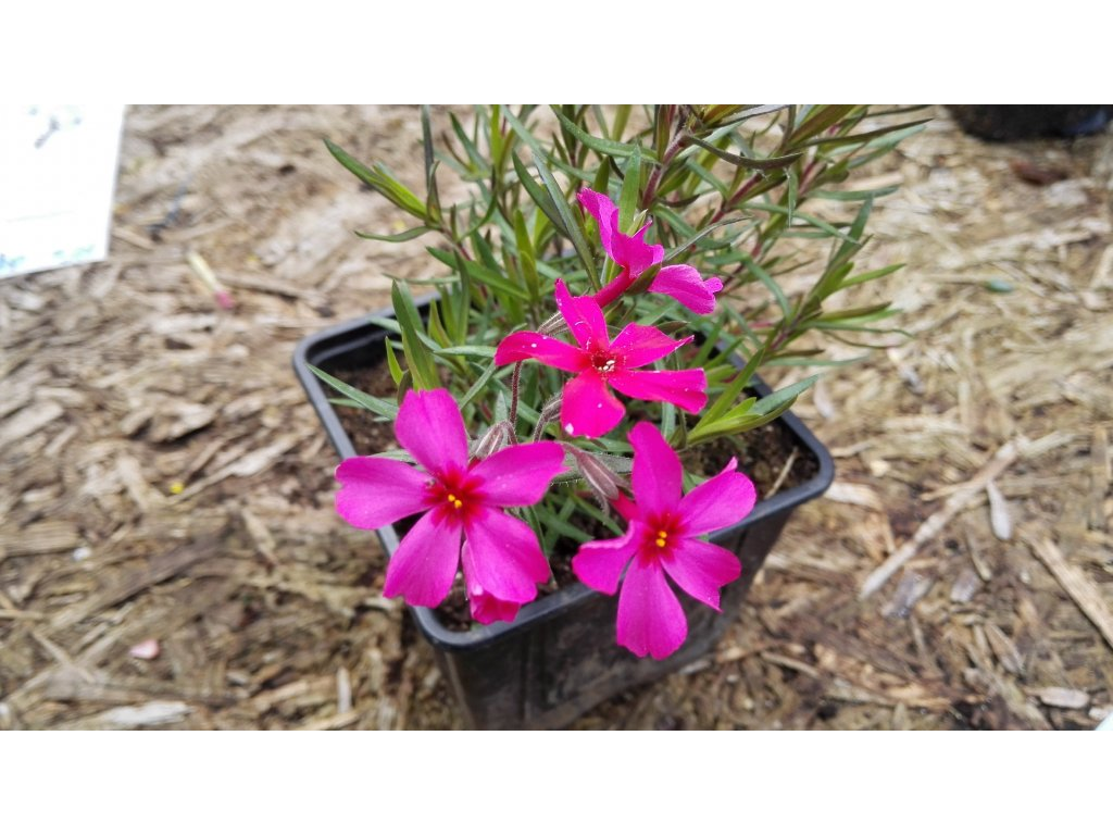 Phlox Subulata Red Wings – Plaménka