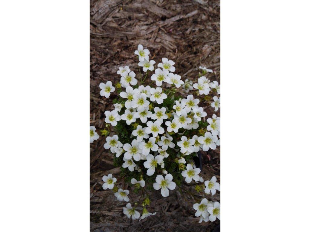 Saxifraga Mossy White – Lomikámen