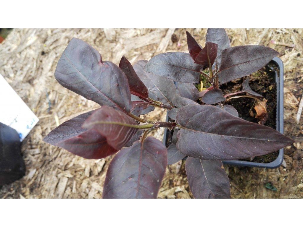 Lysimachia ciliata Firecracker – Vrbina