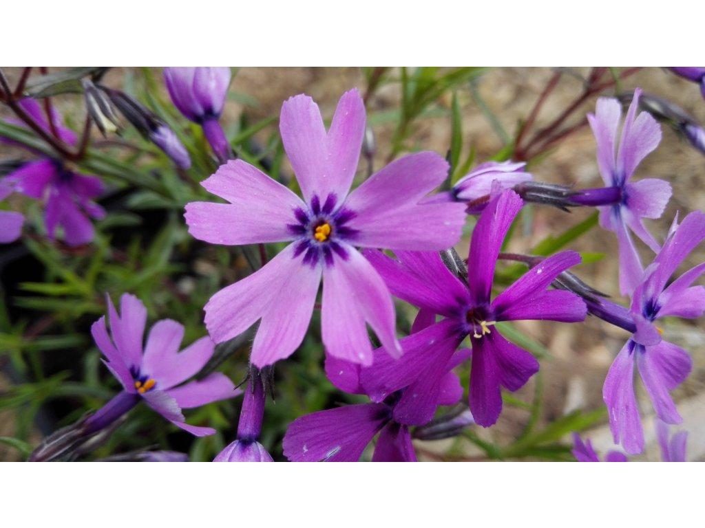 Phlox Subulata Purple Beauty – Plaménka