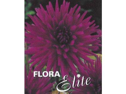Jiřina Cactus Purple Gem I, 1 ks