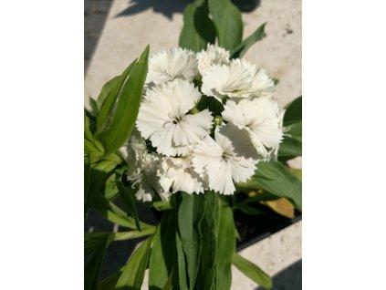 Dianthus barbatus Barbarini White – Karafiát