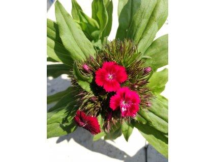 Dianthus barbatus Barbarini Red – Hvozdík