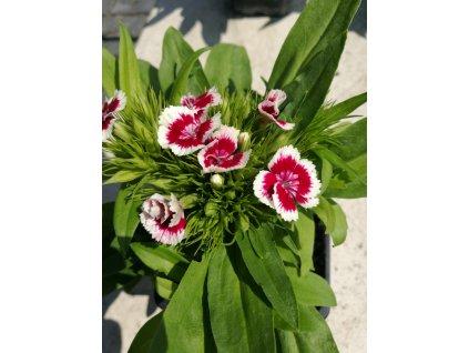 Dianthus barbatus Barbarini Red Picotee – Hvozdík