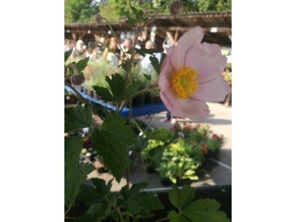 Anemone Japonica – Sasanka Japonská