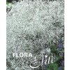 Gypsophila Perfecta I, 1 ks