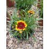 Coreopsis Chorasan Yellow Bicolor – Krásnoočko
