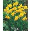 Narcis cyclamineus T?te-?-T?te 5 ks, 11/12