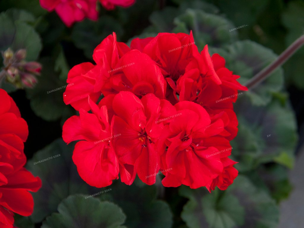 Pelargonium Moonlight Tumbao